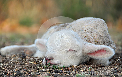 The cutest newborn Spring lamb ever!