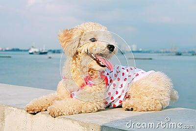 Cutie Poodle Dog