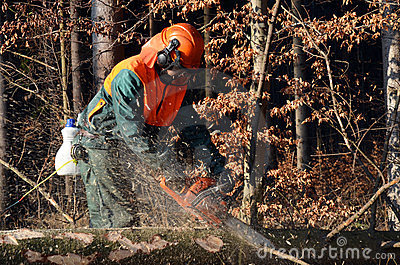 Cutting branches on spruce tree