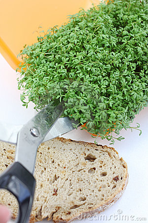 Cutting fresh cress