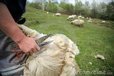 Cutting off sheep fleece