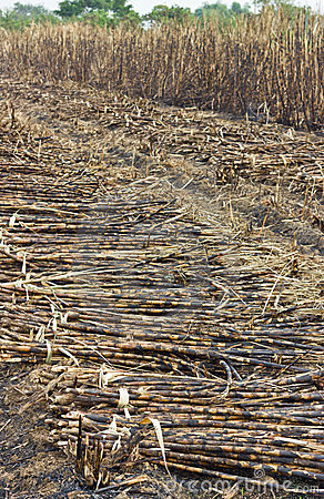 Free Cutting Sugar Cane Is Burned Royalty Free Stock Photography - 23578477