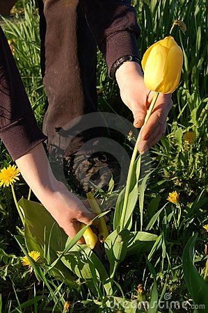 Free Cutting Tulip Royalty Free Stock Images - 5274549