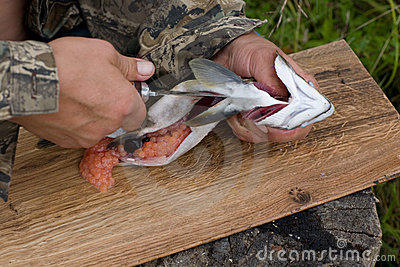 Cutting up fresh-caught salmon