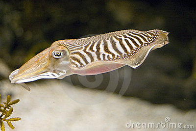 Cuttlefish Full Body