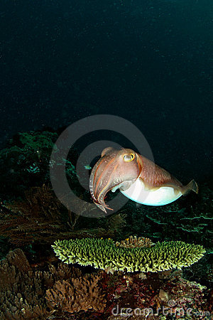 Free Cuttlefish On The Table Coral... Stock Photo - 11412930
