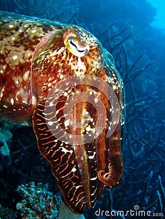 Cuttlefish staring at camera