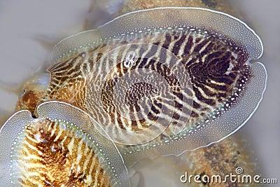 Cuttlefish uncooked a Mediterranean squid
