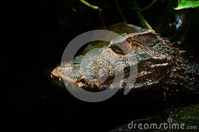 Cuvier s Smooth-fronted Caiman