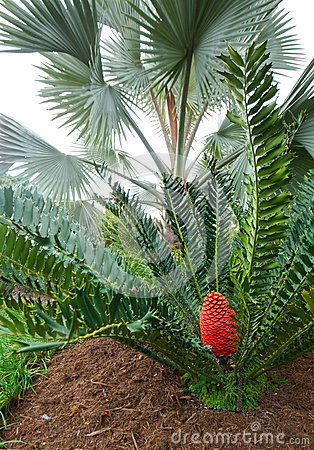 Cycad Colour