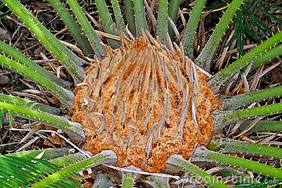 Cycad head