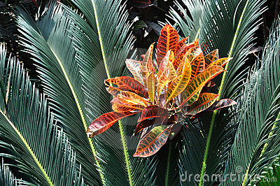 Cycad with red leaf