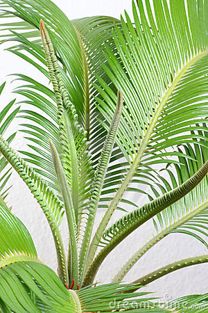 Free Cycas Stock Photo - 6156350
