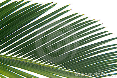 Cycas leaf detail