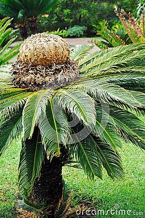 Cycas revoluta (sago cycad) - botanical garden Fun