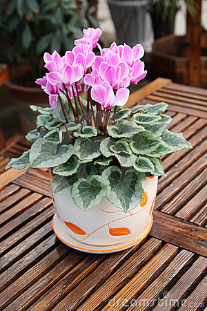 Free Cyclamen  Stock Photography - 12396272