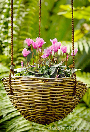 Free Cyclamen Basket Stock Image - 1827871