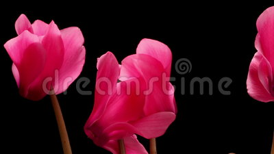 Cyclamen Flower Time-lapse stock video