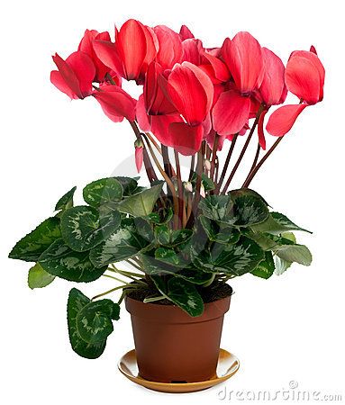 Free Cyclamen Plant Royalty Free Stock Photography - 4884517