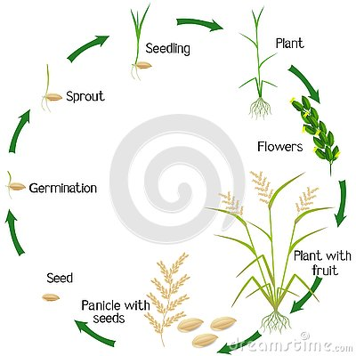 Free Cycle Of A Rice Plant Growth Isolated On White Background. Stock Photos - 130054453