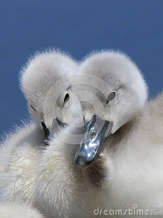 Free Cygnets Stock Photo - 103432800