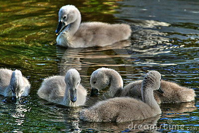 Cygnets in hdr