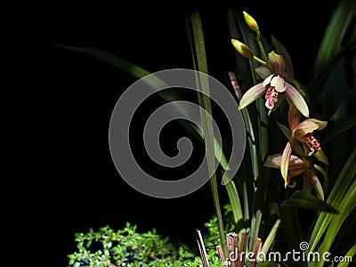 Cymbidium ensifolium
