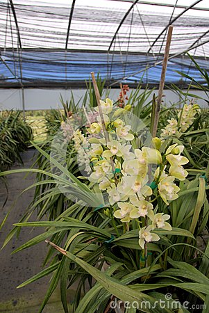 Cymbidium orchid farm