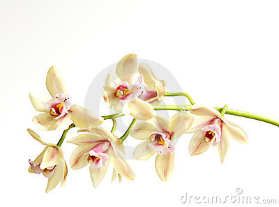 Cymbidium on white