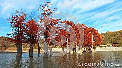 Cyprès de marais sur le lac banque de vidéos