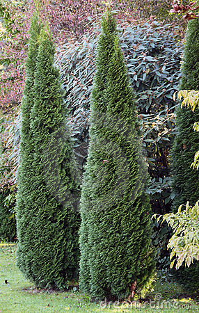 Cypress ornamental trees
