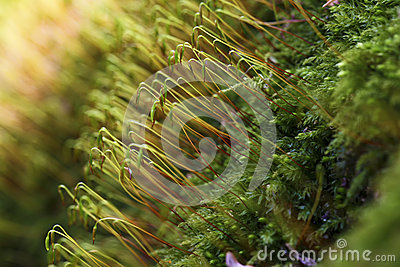 Cypress sleep moss - macro