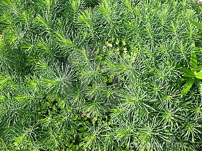 Cypress spurge (Euphorbia cyparissias)