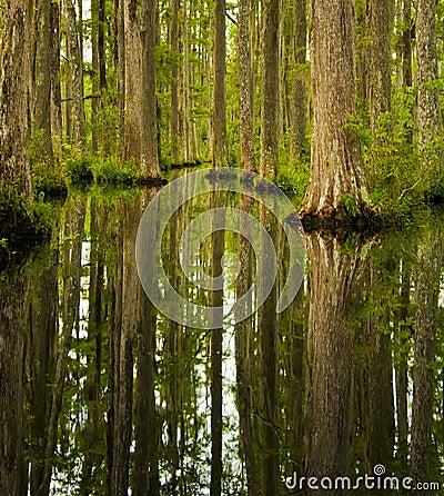 Free Cypress Swamp Royalty Free Stock Image - 21746966