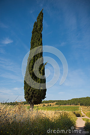 Cypress tree against cloudy, summer, blue sky next to old road Stock Photo