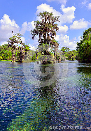 Cypress Tree in Natural Spring