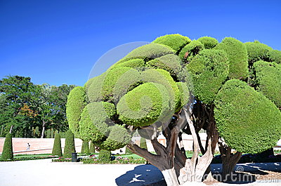 Cypress tree in Retiro Park in Madrid, Spain