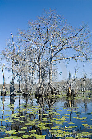 Free Cypress Trees And Lilypads Royalty Free Stock Photography - 4706287