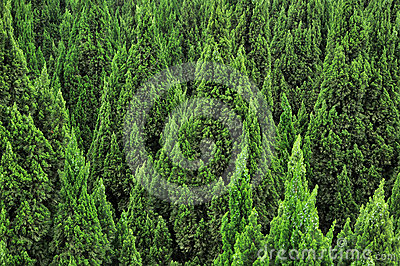 Cypress trees pattern overspread