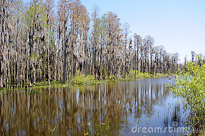Cypress Trees Standing on Edge of Florida Pond