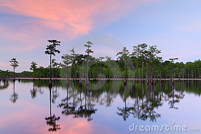 Cypress Trees in the swamp