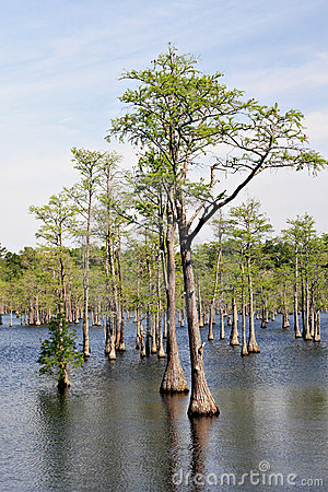 Cypress Trees In Swamp Royalty Free Stock Images Image