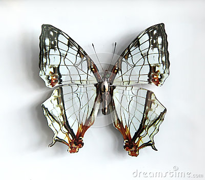 Cyrestis thyodamas a Beautiful giant butterfly