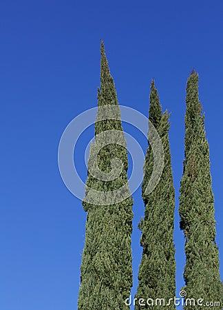 Cyrpress no wind