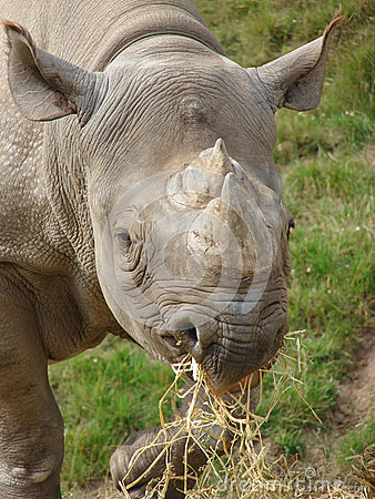 Czarna nosorożec