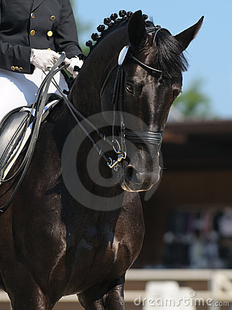 Czarny dressage konia portret