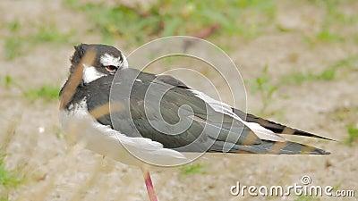 czarny himantopus mexicanus czarny stilt zbiory wideo