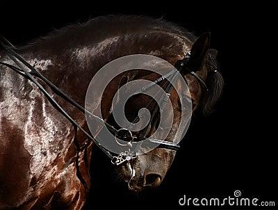 Czarny koń dressage