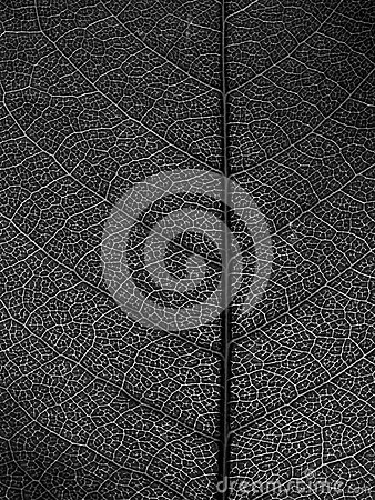 Czarny liść makro- biel