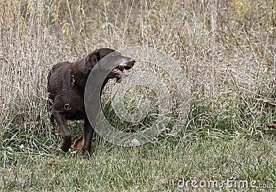 Czekoladowy Labrador Retriever